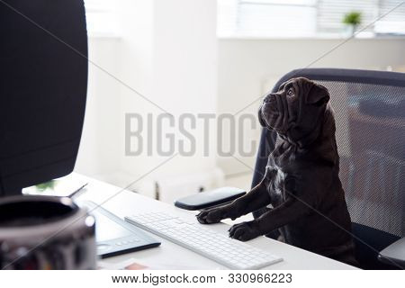 Humorous Shot Of French Sharpei Puppy Sitting In Chair At Desk Looking At Computer