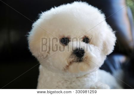 Bichon Frise Dog. Pure Breed Bichon Frise Dog. Bichon dogs are sweet, fun, loving lap dogs who enjoy the company of humans and other animals alike.