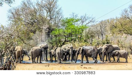 Big Breeding Herd And Family Of Elephants In Kruger National Park , Africa During A Hot Summer Day
