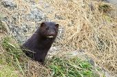 Mink looking from burrow. Mustela lutreola - wild predatory furry animal hunting in nature. poster