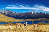 Guanaco in Torres del Paine National Park, Laguna Azul, Patagonia, Chile poster
