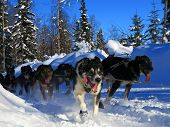 Dogs running the 2012 Iditarod Trail Sled Dog Race poster