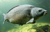 Underwater Photo Big Carp (Cyprinus Carpio) Trophy fish in The Hracholusky lake, Czech Republic, Europe. poster