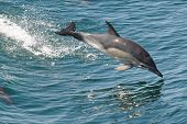 A Common dolphin leaping across from one wave to the wave in front poster