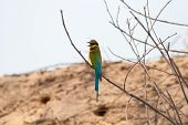 beautiful blue tailed bee eater (Merops philippinus) singing poster