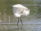 Snowy Egret preening its feathers in a Florida lagoon-slight graininess, best at smaller sizes poster