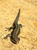 Group of squamate reptiles. Lizard from Lithuania. poster