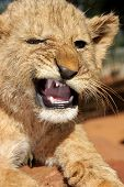 A little angry baby lion cub growling at you poster