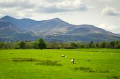 Sheep and rams in Killarney mountains, Ireland poster