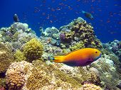Tropical fishes and coral reef of red sea poster