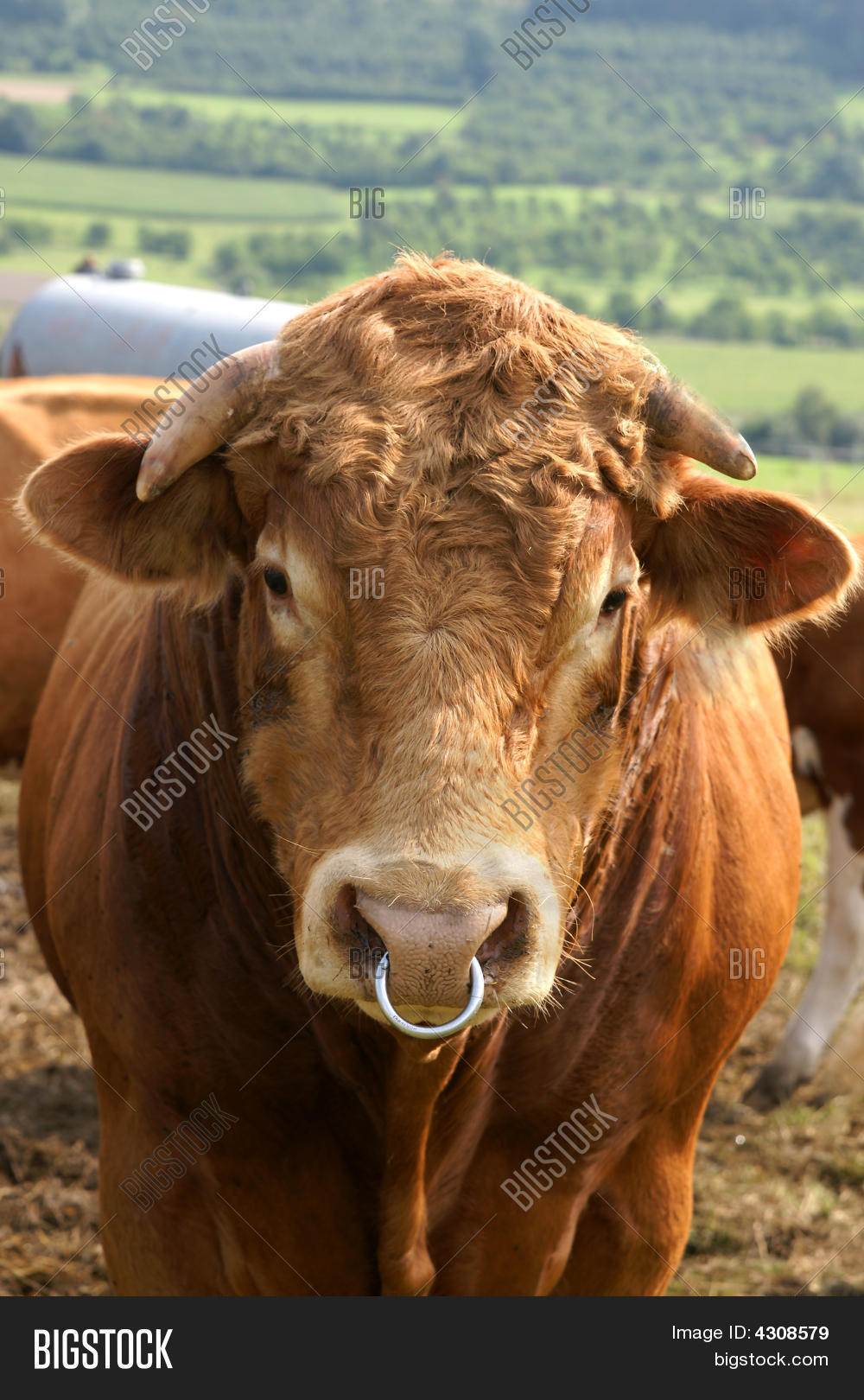 Bull Nose Ring Image Photo Free Trial Bigstock
