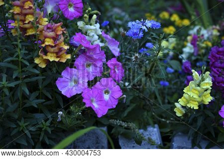 Colorful Snapdragon Flowers In The Evening In The Garden