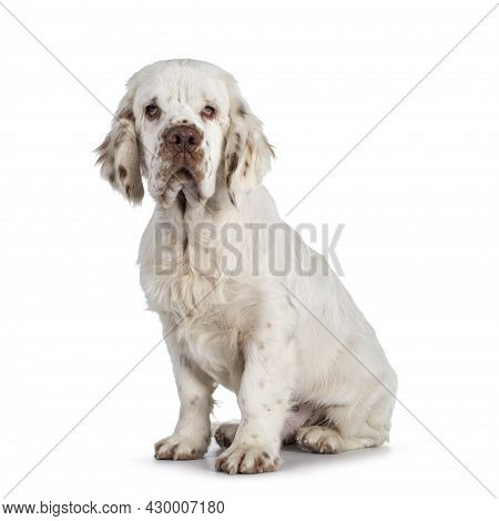 Cute Clumber Spaniel Dog Pup, Sitting Up Side Ways. Looking Towards Camera With The Typical Droopy E