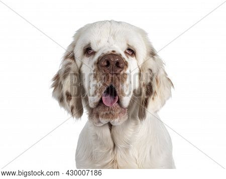 Head Shot Of Cute Clumber Spaniel Dog Pup, Sitting Up Side Ways. Looking Towards Camera With The Typ