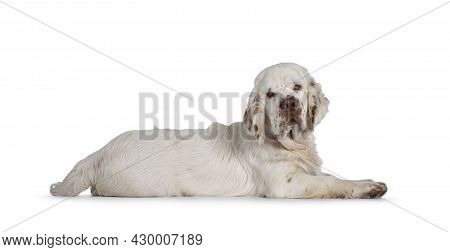 Cute Clumber Spaniel Dog Pup, Laying Down Side Ways. Looking Towards Camera With The Typical Droopy