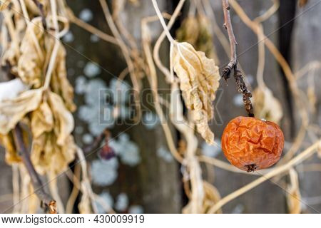 Dry Wrinkled Apple In The Winter On A Tree Branch. End Of Life With The Onset Of Winter
