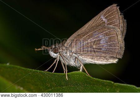 Adult Inca Skipper Of The Species Vehilius Inca