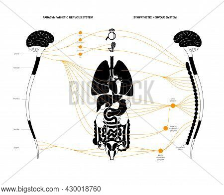 Sympathetic And Parasympathetic Nervous Systems. Diagram Of Human Brain And Nerves Connections. Auto