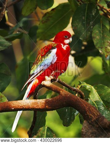 Eastern Rosella Parrot Or Parakeetis A Rosella Native To Southeast Of The Australian Continent And T