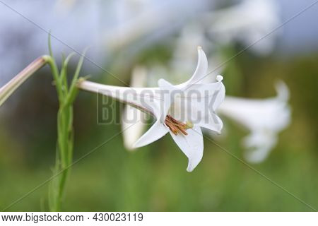 Taiwanese Lily Flowers. Liliaceae Plant Native To Taiwan.