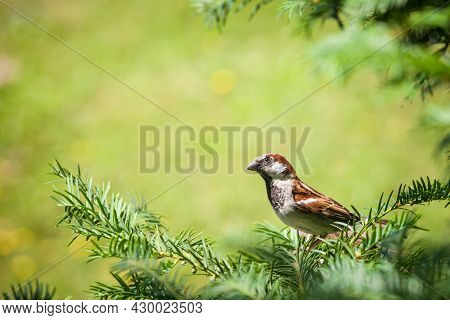 Close Up On An Old World Italian Passer House Sparrow, Also Called Passer Domesticus, Or Passer Ital