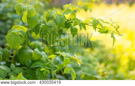 Reddened Raspberry Leaf On A Branch Close-up. Young Green Leaves In The Garden In Spring, Concept Of