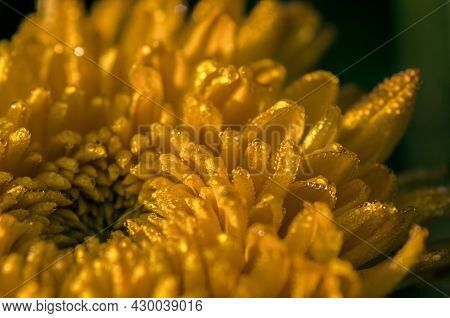 Orange Chrysanthemum Close Up With Dewdrops In The Morning Light
