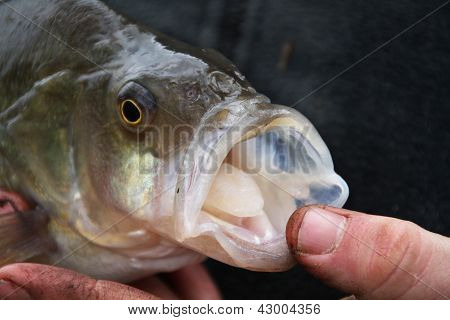 Mouth of large Perch caught in fresh water pond. poster