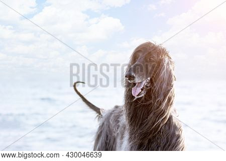 Portrait Of A Dog Of The Breed Afghan Hound Close-up On A Background Of The Sea.
