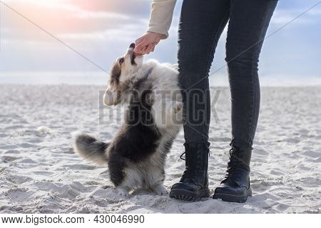 Obedience To A Little Corgi Puppy. Training On The Beach.