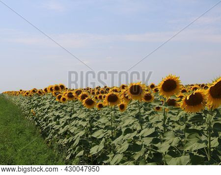Natural Background Of Sunflower Field With Copy Space, Farmland Edge With Sunflower Plantations, Far