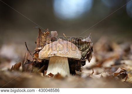 Shot Of Amazing Edible Mushroom Boletus Edulis Known As Penny Bun In Autumn Forest With Blurred Back