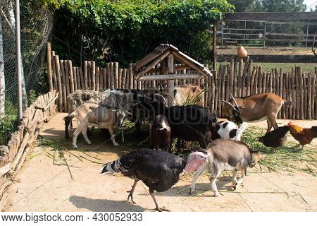 Close-up Of Feeding Goats At The Petting Zoo. Young And Old Animals Live In One Enclosure. Sheep And