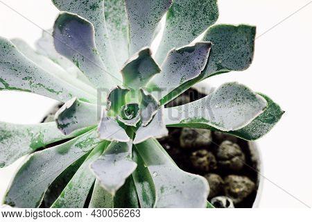 Green Beautiful Succulent Echeveria On A Light Background.