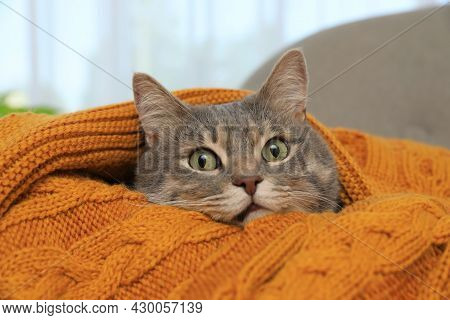 Beautiful Grey Tabby Cat Wrapped In Warm Blanket At Home, Closeup. Cute Pet