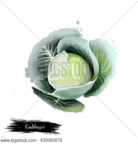 Cabbage Vegetable Isolated On White. Illustration Of Headed Cabbage Brassica Oleracea. Leafy Green B