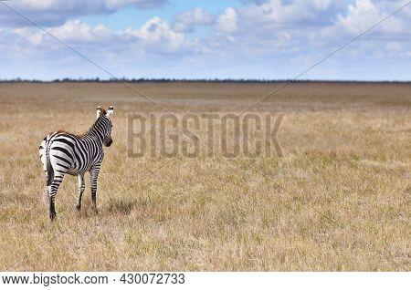 Back View Of Zebra In Grasslands Of Virgin Steppes