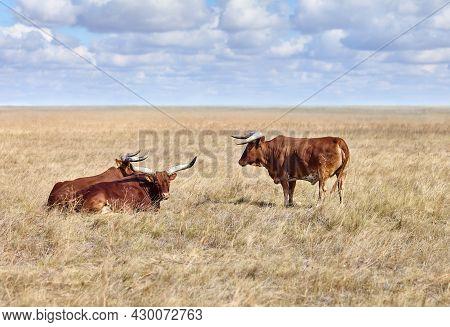 Ankole Watusi, Modern American Breed Of Domestic Cattle, In Grasslands Of Virgin Steppes