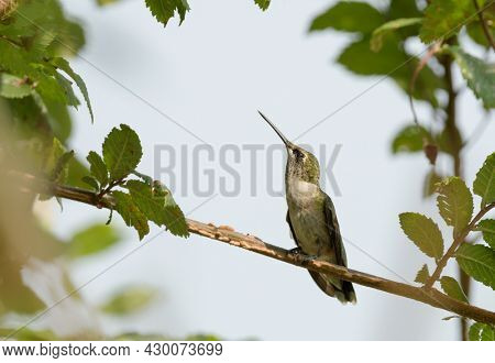 Young male Ruby-throated Hummingbird perched on a snall elm twig surrounded by leaves, looking up