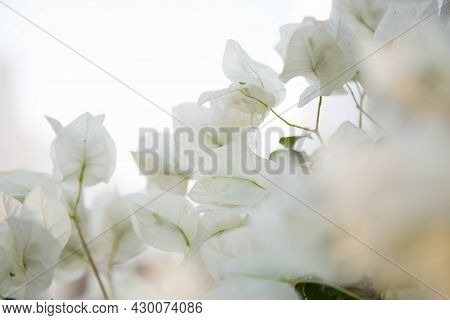 White Flowers Abstract Floral Background. Pastel White Flowering Branches. Delicate Blooming Botanic