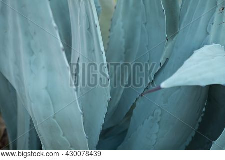 Agave Plant. Abstract Blue Natural Background Pattern Of Blue Leaves Tropical Agave Cactus. Blooming