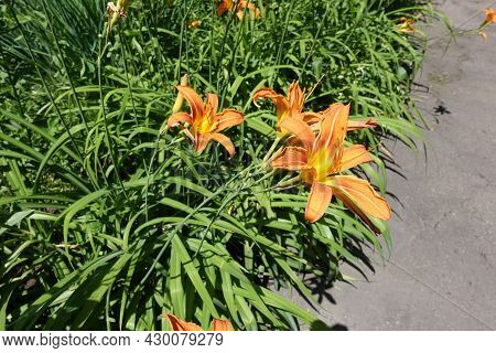 Group Of Three Orange Flowers Of Day Lily In Mid June