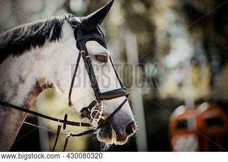 Portrait Of A Sports Gray Horse In The Bridle In The Arena. Horse Muzzle Close Up. Portrait Stallion