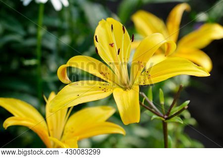Yellow Lily flower in the garden