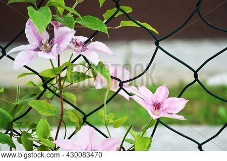 Climbing Pink Clematis Flowers In The Garden