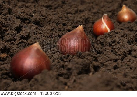 Tulip Bulbs In Soil. Planting Tulip Bulbs In The Ground In The Fall In Your Garden. The Concept Of G