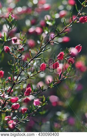 Red And Pink Flower Buds Of Australian Native Boronia Ledifolia, Family Rutaceae. Grows In Sclerophy