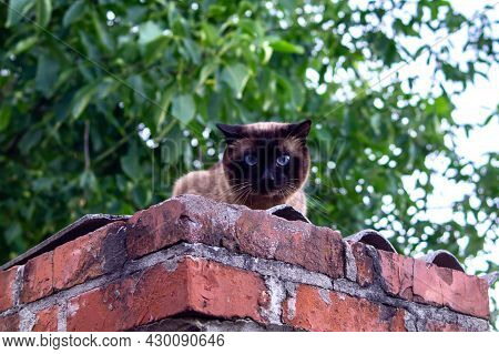 Thai Siamese Cat With Blue Eyes And Fluffy Fur Sits On A Brick Fence. Cat On A Walk.