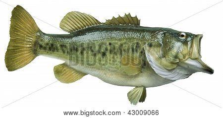Largemouth Bass Isolated On White Background