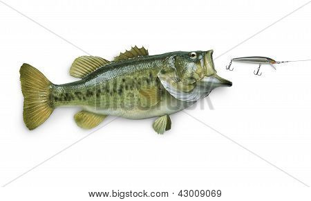 A big largemouth bass chasing a lure isolated on white background poster